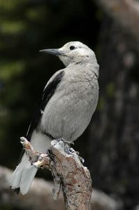 Clark's_Nutcracker_at_Crater_Lake
